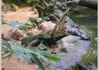Capybara and Turtles at Burgers Zoo