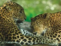 Burgers-Zoo-Rimba-Leopards-Geography-trips